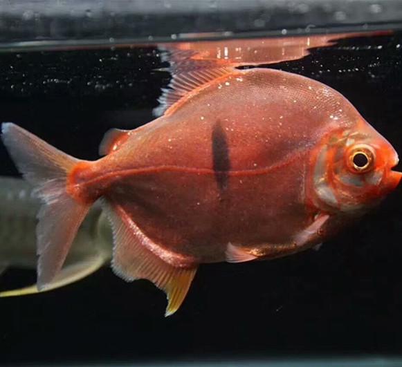 桂平玫瑰银版鱼 桂平水族新品 桂平龙鱼第2张