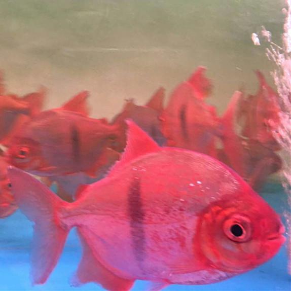 桂平玫瑰银版鱼 桂平水族新品 桂平龙鱼第3张