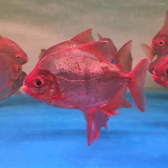 桂平玫瑰银版鱼