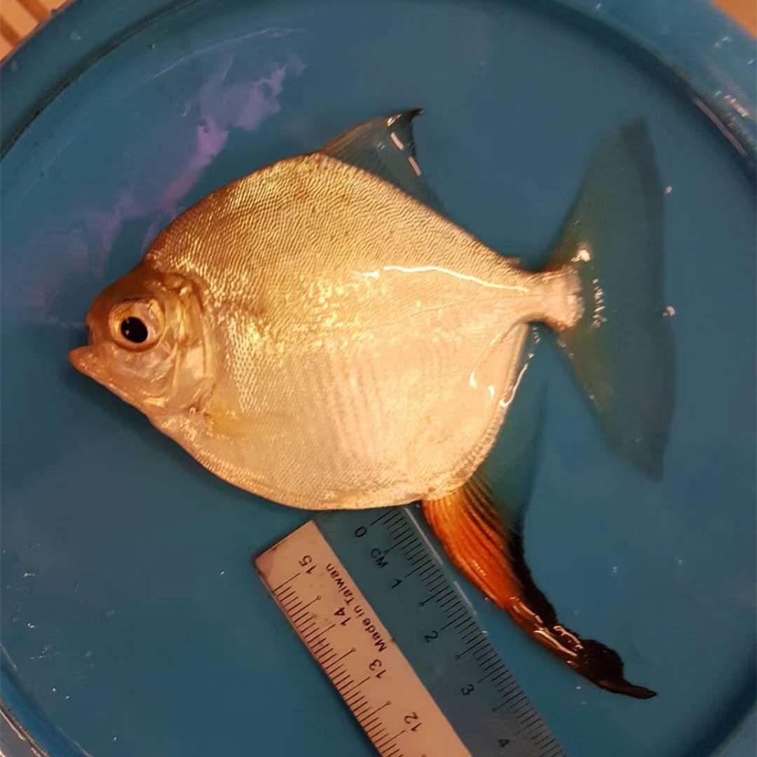 桂平红勾银版鱼